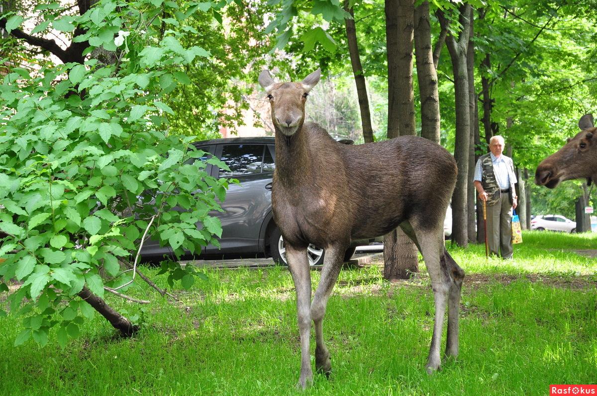3 лося пришли в гости в Москву, в район Восточное Измайлово (ВАО)