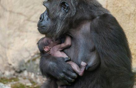 Прибавление в Московском зоопарке: у гориллы родился детёныш.