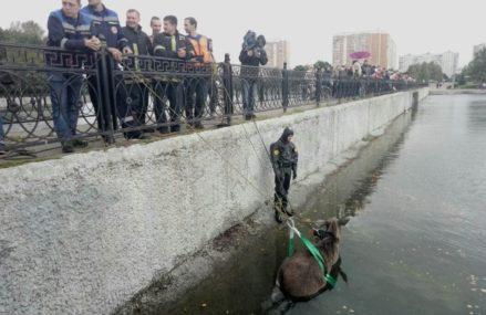 Как спасали тонущего в пруду лося на ул. Вешняковская