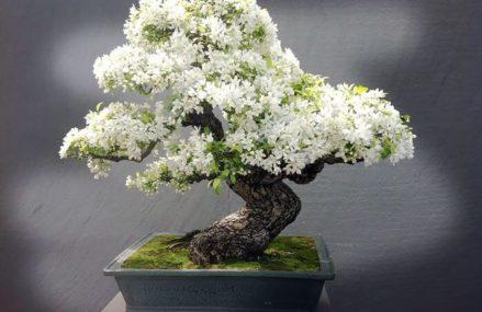 Крупнейшая в стране выставка карликовых деревьев бонсай стартует в «Аптекарском огороде»