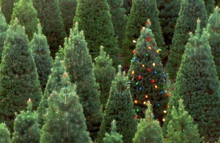 Новогодние ели в Сокольниках можно будет приобрести с 20 декабря