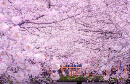 Живую цветущую сакуру привезут в столицу из Японии