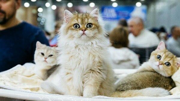 В Курске проводят международную выставку кошек