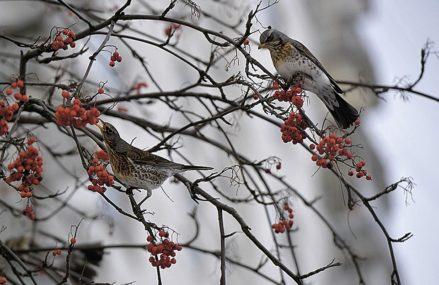 Где в Москве зимуют птицы