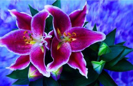 Самые изысканные сорта лилий покажут в «Аптекарском огороде»