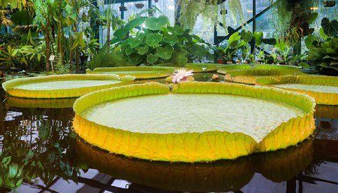 В «Аптекарском огороде» расцветет самая большая в мире кувшинка