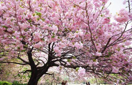 Совсем скоро в Японском саду в Москве зацветёт сакура