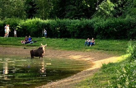 В парке «Сокольники» лось искупался в пруду