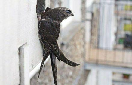 Москвичи все чаще обнаруживают в своих квартирах залетных стрижей