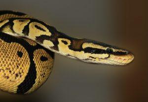 Огромная змея забралась в квартиру жительницы Измайлово