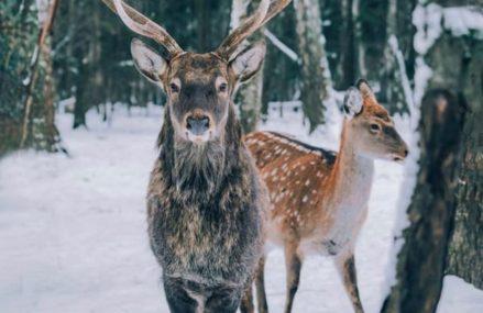 Заповедник с оленями и кабанами в подмосковном Левково