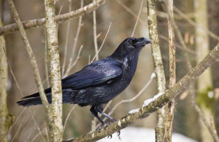 В Сокольниках ворон по кличке Карло пугает прохожих, садясь им на плечи и развязывая шнурки