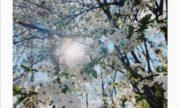 В Сокольниках зацвела вишня