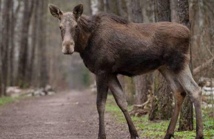 Фото дня: Грациозный лось попал в объектив камеры в лесопарковой зоне Гольянова