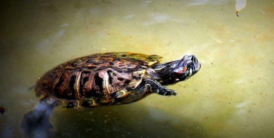 Москвичей призвали не выпускать домашних черепах в городские водоемы