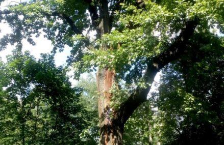 Пострадавший от удара молнии дуб на Преображенке спасут дендрологи