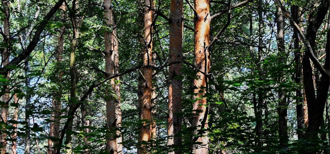 Деревья парка Северное Бутово