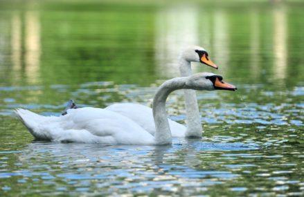 Одинокому лебедю в Сокольниках нашли пару