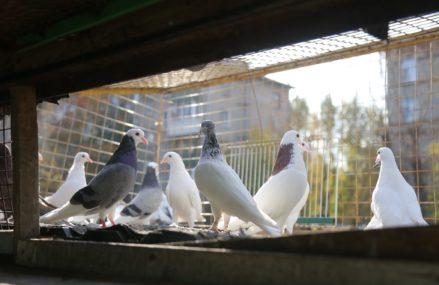 Более сорока лет житель Перово разводит голубей