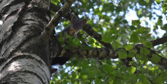 В Измайловском лесопарке лесная куница начала запасаться едой на зиму