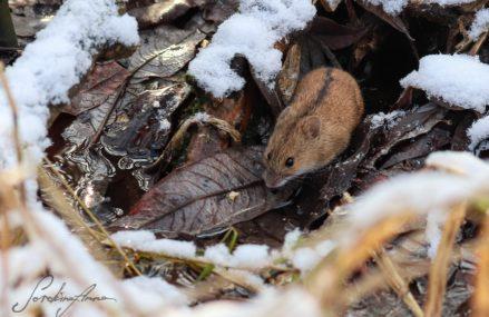 На природных территориях грызунов не ловят: возле реки Яузы удалось сфотографировать полевую мышь