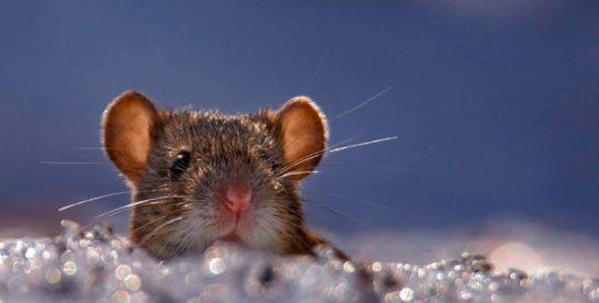 Мышь из Сокольников прославилась на всю Россию