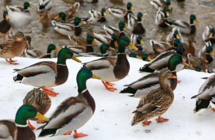 На водоемах ВАО пройдет «Утиная перепись»