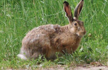 Столичным «хозяином леса» в 2021 году стал заяц