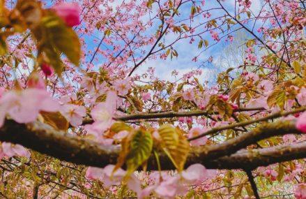 В Бирюлевском дендропарке растёт сакура сорта эдзо