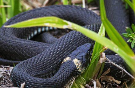 Осторожно, ужата: у змей на природных территориях Москвы скоро появится потомство