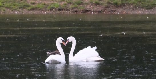 У Золотого пруда в парке «Сокольники» усилили охрану для безопасности лебедей