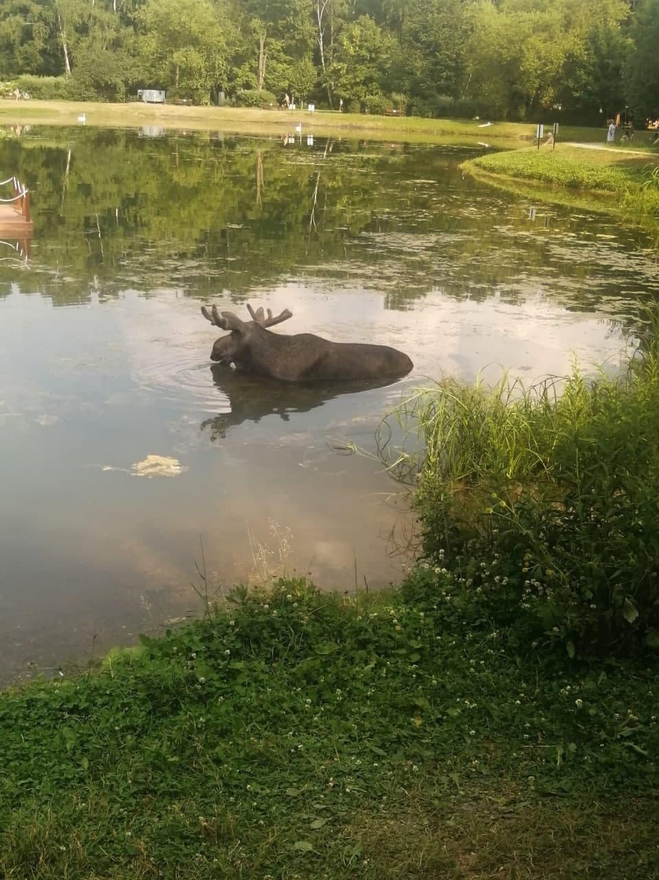 лоси в парке сокольники