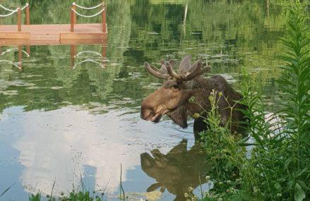 В Москве сохатый полюбил купаться в пруду парка «Сокольники»