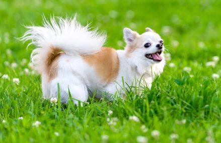 Шпицы, лабрадоры, чихуа-хуа: какие еще породы собак популярны у москвичей