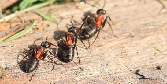 Города в городе: краснокнижные муравьи строят в Москве свои государства