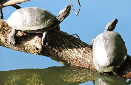 Щучий пруд заполонили болотные черепахи