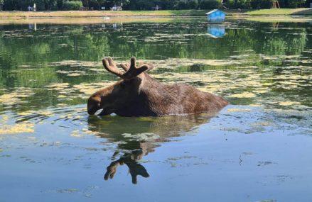 Лоси бросились купаться в прудах парка «Сокольники», не выдержав московской жары